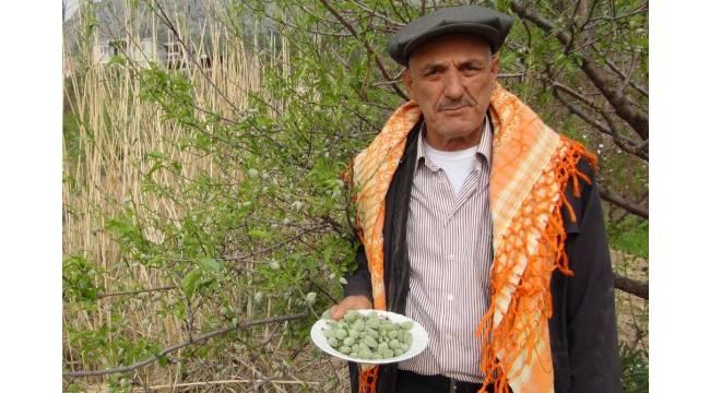 Mersin'de açıkta çağla hasadı yapıldı