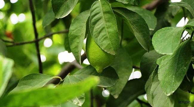 Poyrazın vurduğu limonda ihracat endişesi