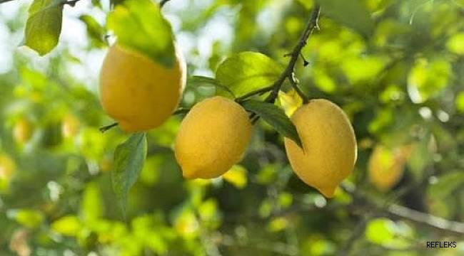 Çukurova'da limona değer kazandıracak proje başlıyor