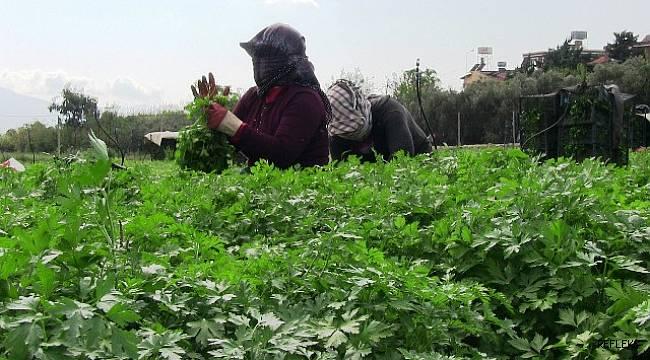 Hatay'da 5 bin dekar alanda maydonoz üretiliyor