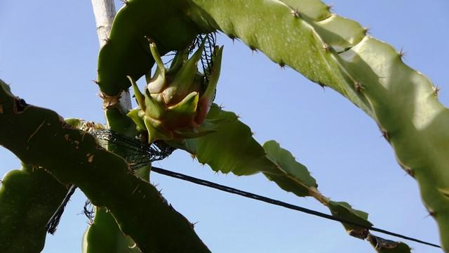 Ejder meyvesi üreticinin gözdesi