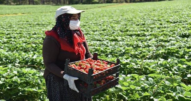 Kahramanmaraş'ta devlet destekli üretilen çilekte hasat başladı