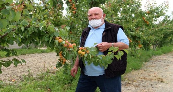 Musa Eroğlu, Mut'ta kayısı hasat sezonunu türkülerle başlattı