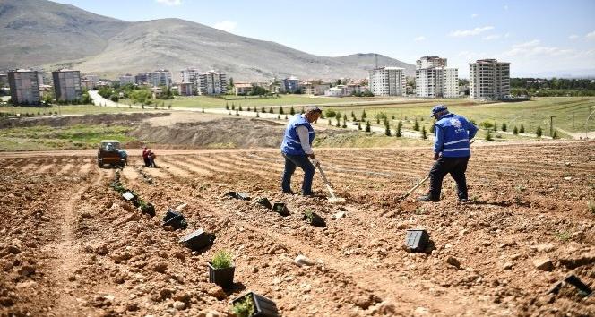 Elbistan, Türkiye'nin en büyük lavanta vadisine ev sahipliği yapacak