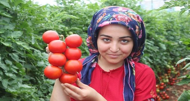 Pandemi döneminde dikilen domatesler ihracat yolunda