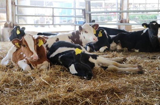 Konforlu ineklerin süt verimi de arttı