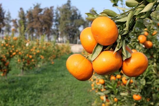 Limondan sonra çekirdeksiz mandarine doğru