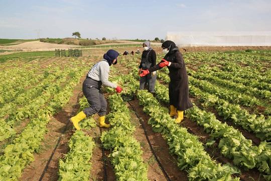 Kooperatif ile birleşen kadınlar tarlada üretim yapıyor
